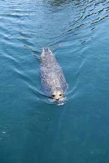 Common seal swimming by the surface of the water, mammal, sunny day, nose