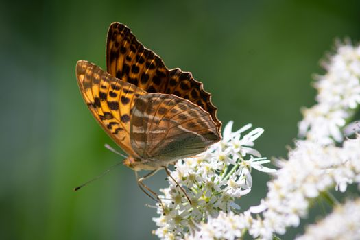 Beautiful summer butterflies on flowers and leaves in Germany