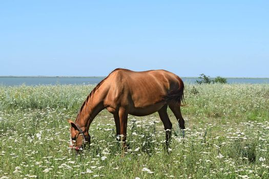 The grazed horse. The horse eats the grass growing on a pasture at coast of the Sea of Azov.