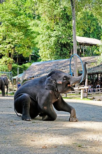 The elephants showing their skill of playing hula hoop for the e