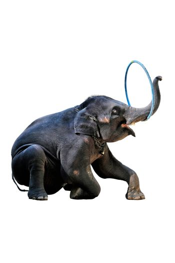 The elephants showing their skill of playing ,hula hoop on white