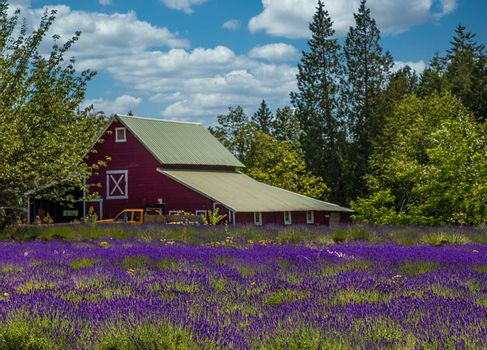 A field of purple lavender with a red barn in the background