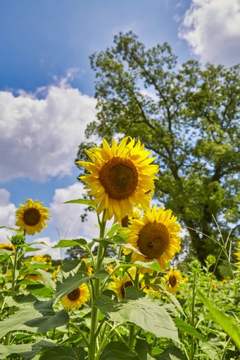 An image from a beutiful summer field full of bright yellow and green sunflowers