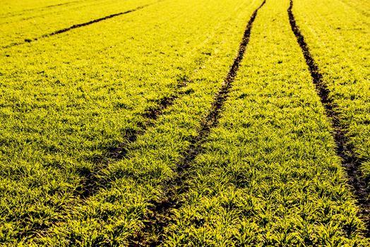 energy plant szarvasi grass
