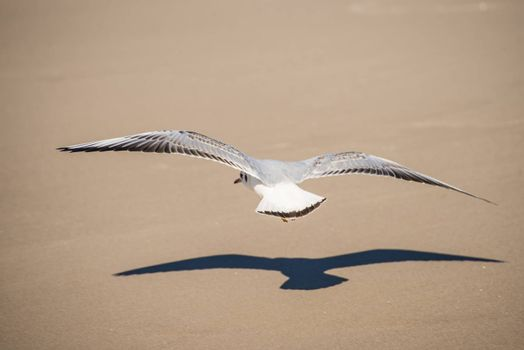 Black-headed gull flying deep over the beach
