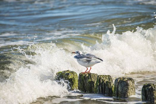 Black-headed gull on groynes in the Baltic Sea