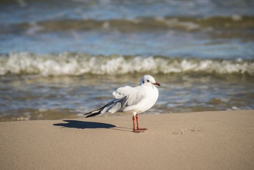 Black-headed gull on a beach of the Baltic Sea