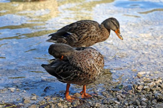 Ducks stand on the shore of the lake and wash