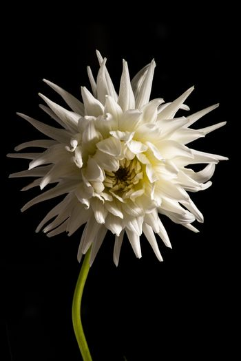 White chrysanthemum flower isolated on a black background