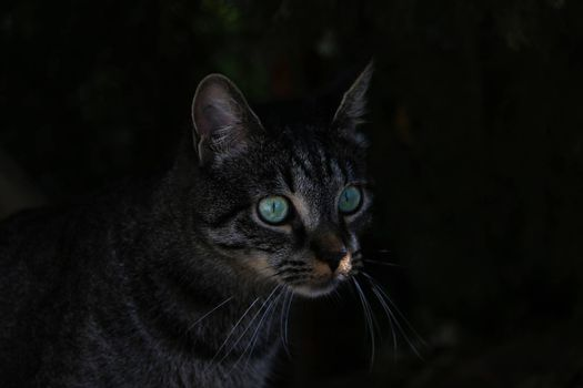 Beautiful cat with green eyes in the dark