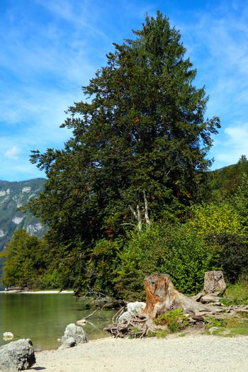 Beautiful green tree near the shore of a mountain lake on a sunny day.