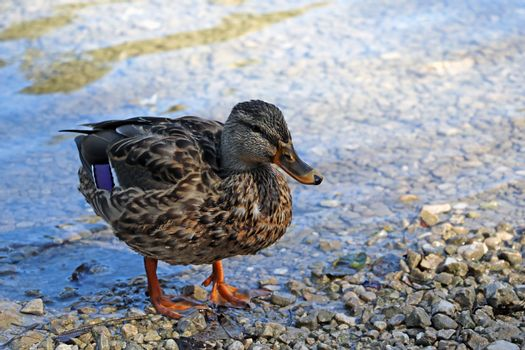 Beautiful wild wet duck on the shore of the lake