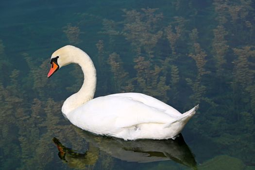 A white swan swims in clear cold water