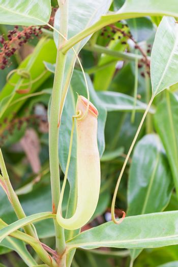 Nepenthes in The Garden