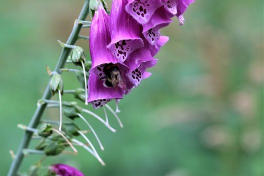 A close up of a pink foxglove in the forest against a dark background
