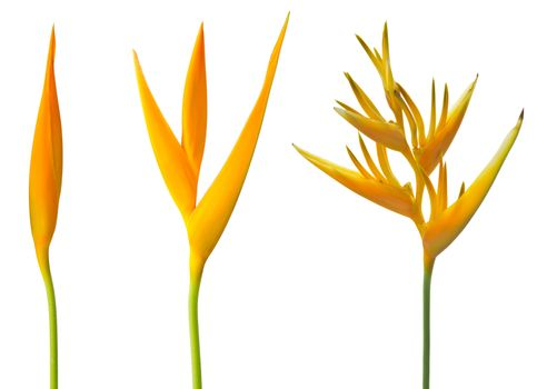 Alan Carle, Heliconia flower isolated on white background and clipping path