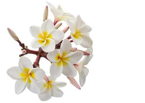 Plumeria flowers isolated on white background and clipping path