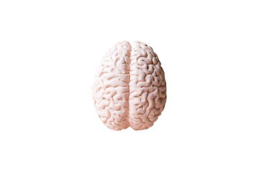 Human brain Anatomical Model isolated on white background