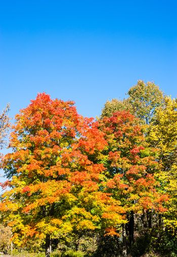 Autumn tree foliage turning from green to orange under clear blue sky.