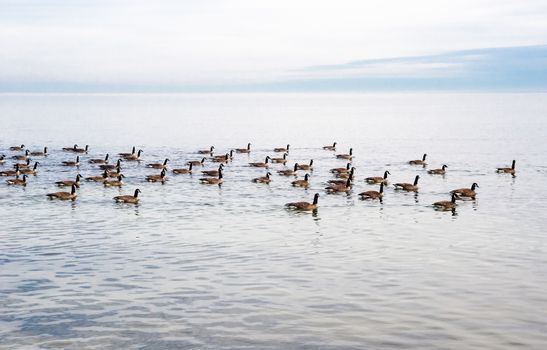 Flock of Canada Geese swimming from left to right on lake, under gray overcast cloudy sky.