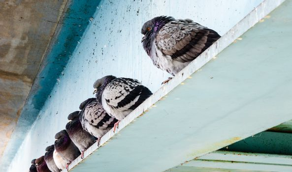 Row of gray wild pigeons sitting with fluffed feathers on blue steel beam under bridge in winter.