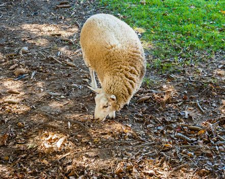 Single sheep foraging in brown dirt and dried leaves, facing to the side, with grass in corner.