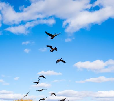 Flock of Canada Geese taking off after leading goose into partly cloudy blue sky.
