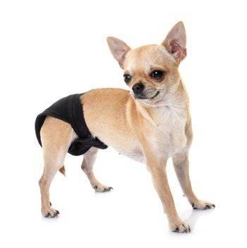 little chihuahua with pants  in front of white background