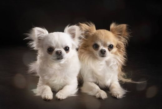 little chihuahuas in front of black background
