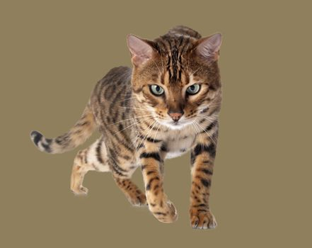 bengal cat in front of brown background