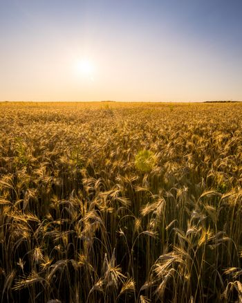 Sunset or sunrise in an agricultural field with ears of young golden rye on a sunny day. The rays of the sun on a blue sky. Landscape.