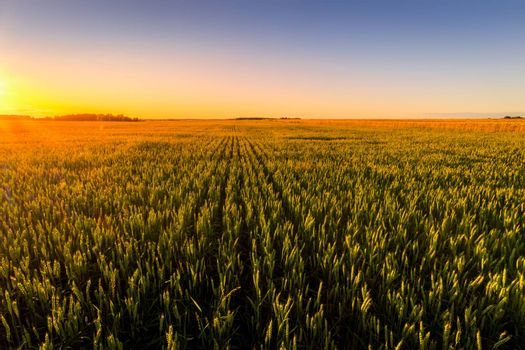 Sunset or sunrise in an agricultural field with ears of young green rye on a sunny day. The rays of the sun pushing through the clouds. Landscape.