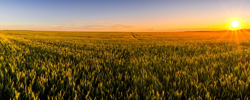 Sunset or sunrise in an agricultural field with ears of young green rye and a path through it on a sunny day. The rays of the sun pushing through the clouds. Panorama.