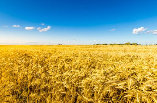 Agricultural field with golden rye on a clear sunny evening with clear blue sky. Landscape.