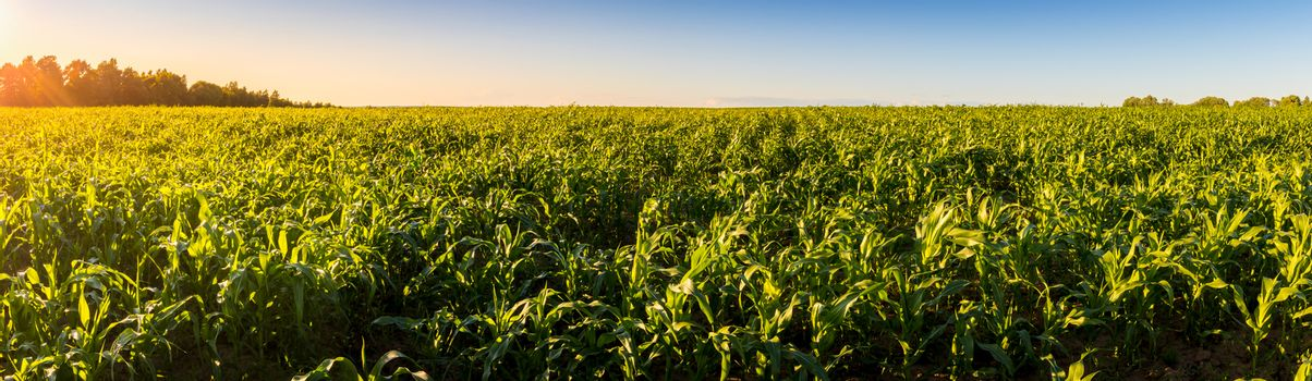 Agricultural field with young green corn on a clear sunny evening with clear blue skies. Panorama.
