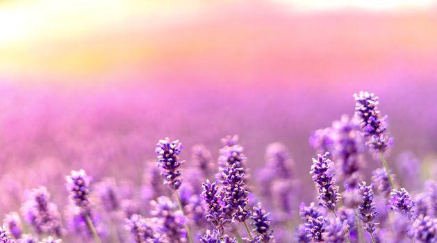 Lavender bushes closeup on sunset. Sun gleam over purple flowers