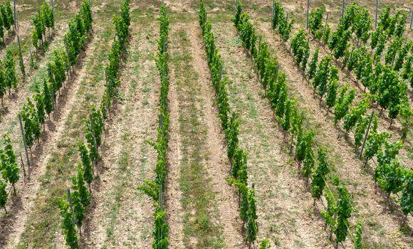 Vineyards with vine plants in Hessen city Bingen in sunshine