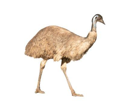 australian emu isolated on white background