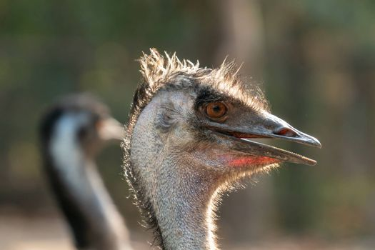 Close up of the head and neck of an emu