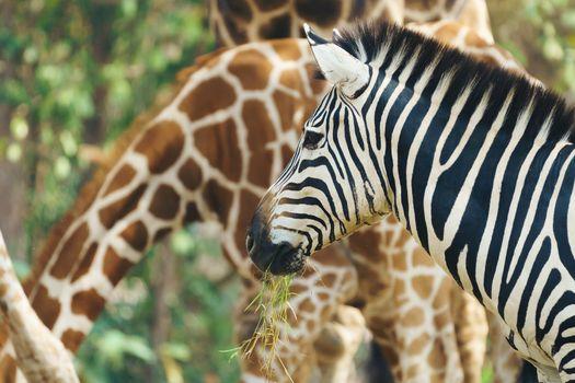 zebra eating fresh green grass