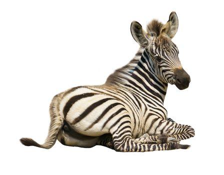 young zebra isolated on white background