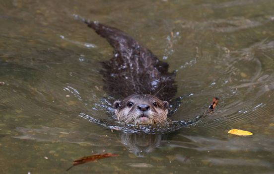 Asian small clawed otter ( Aonyx cinereus ) in river