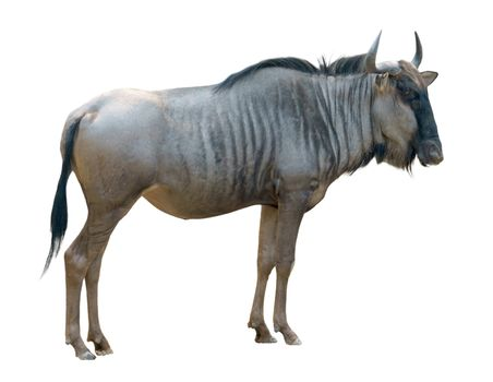 wildebeest or gnu isolated on white background
