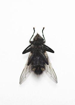 Housefly over white background