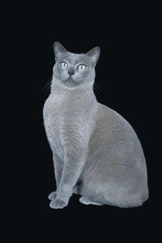 Blue Burmese cat sitting