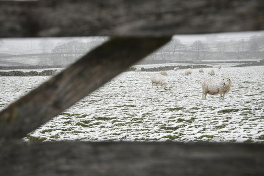Sheep grazing on snowy field behind fence