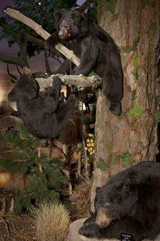 Taxidermy of black bears in museum