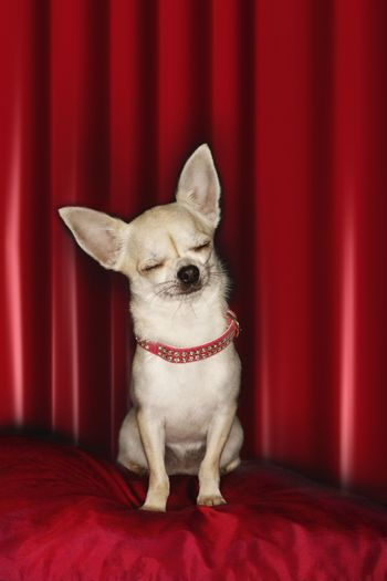 Chihuahua eyes closed sitting on red pillow
