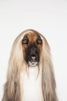 Afghan hound close-up
