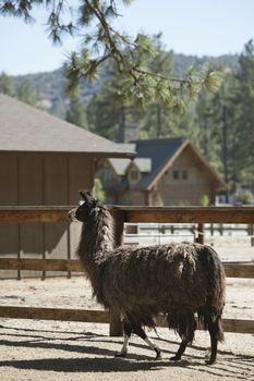 Llama walking in pen